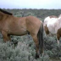 Horse or Pony Z Scale